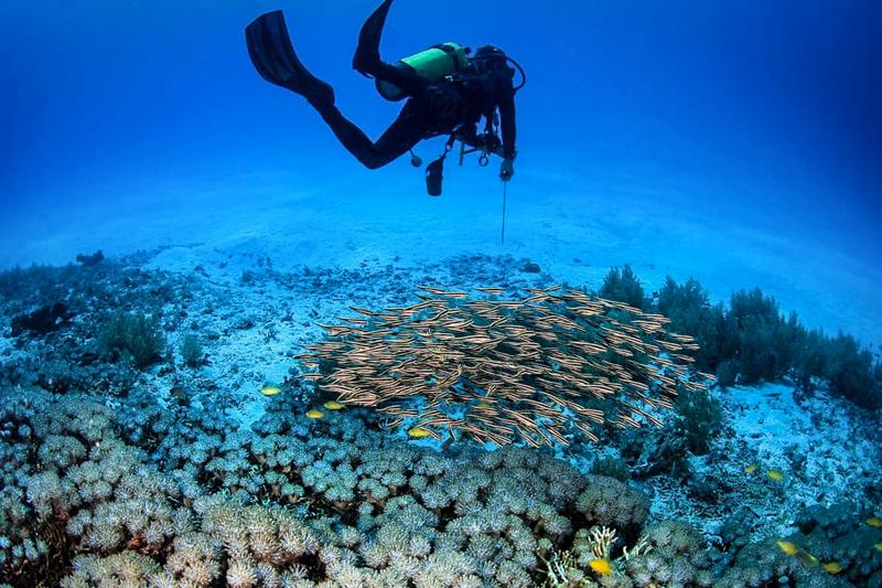 Diver with a group of juvenile wrasses Halichoeres prosopeion